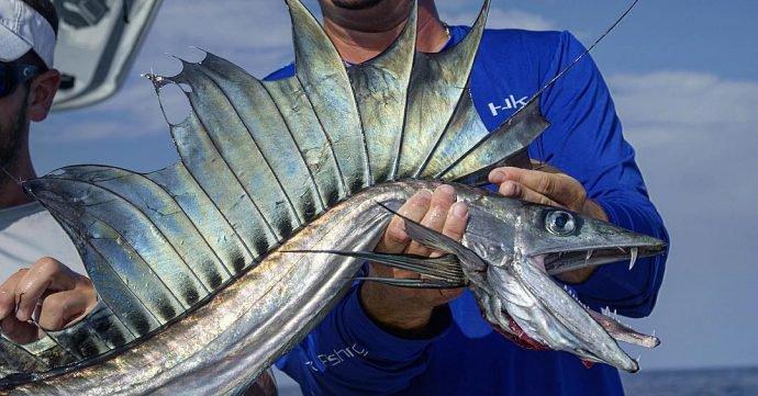 Real Lancet Fish